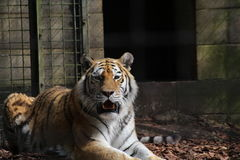 Tiger. A Tiger lying down in its enclosure Stock Photography
