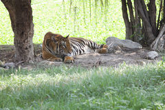 Tiger lying on field. Relaxing emotion Royalty Free Stock Images