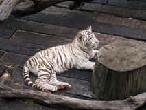 Tiger lying. On the floor Stock Images
