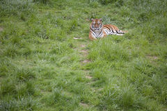 Tiger lying on the grass Stock Photography