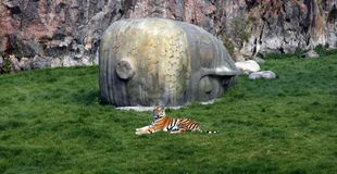 Tiger lying in front of Buddha head royalty free stock photography