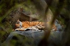 Tiger lying in green vegetation. Wild Asia, wildlife India. Yiung Indian tiger, wild animal in the nature habitat, Ranthambore, In. Dia Stock Photos