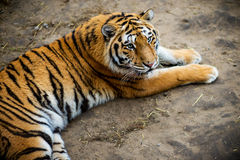 Tiger lying Royalty Free Stock Photos