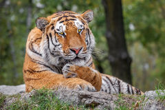 Tiger lying on the ground in safari. Royalty Free Stock Image