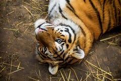 Tiger lying Stock Image