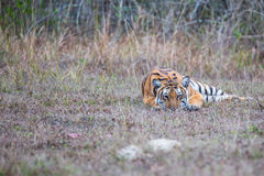 Tiger lying low. Bengal Tiger sighted in western ghats of India Royalty Free Stock Photos