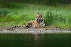 Tiger lying near the river water.  Tiger action wildlife scene, wild cat, nature habitat. Tiger with greenwater grass. Danger anim Stock Photo