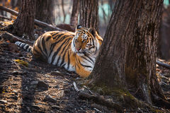 Tiger lying near the tree Stock Photography