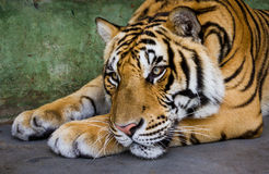 Tiger lying. Portrait of Asian tiger lying Royalty Free Stock Image