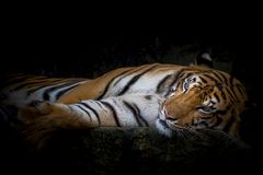 Close up tiger. Tiger lying relax in the zoo Stock Photos