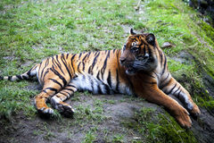 Tiger lying on a rock, resting. Tiger close up in the forest. Royalty Free Stock Image