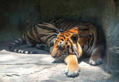 Tiger lying Royalty Free Stock Image