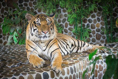 Tiger lying. Stronger bigger and orange Stock Photo