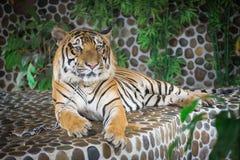 Tiger lying. Stronger bigger and orange stock photo
