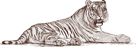 Drawing Of Lying Tiger Vector Stock Photos Image 12313573