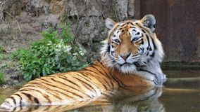 Tiger lying in water. Siberian tiger lying in the water to cool down on a hot summer day royalty free stock photography