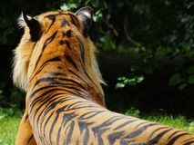 Tiger lying in zoo in Augsburg in germany. In spring stock photography