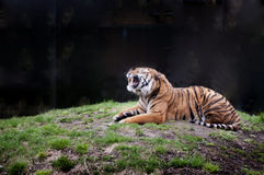 Tiger. Magnificent Siberian tiger on black background Stock Photography