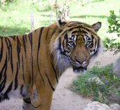 Tiger. The tiger is the majestic and powerful predator-striped symbol stock photography