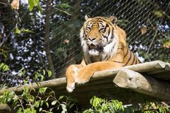 Tiger. The tiger is the majestic and powerful predator-striped symbol royalty free stock image