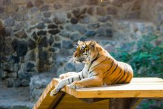 Tiger majestically looking ahead in search of prey. Stern look, majestic tiger, Amur tiger, Bengal tiger stock photos