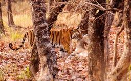 Tiger making a kill Stock Photography
