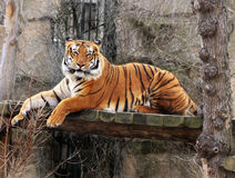 Tiger. Malayan tiger resting on a wooden bridge Royalty Free Stock Photography