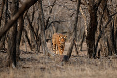 Tiger male in a beautiful light in the nature habitat of Ranthambhore National Park Stock Photography