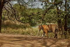 Tiger male in a beautiful light in the nature habitat of Ranthambhore National Park Stock Photo