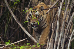 Tiger. A male tiger called as Matkasur Royalty Free Stock Photography