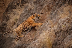 Tiger male cub jumping on the rocky cliff. Tiger in the nature habitat. Tiger male walking head on composition. Wildlife scene with danger animal. Hot summer in Stock Photo