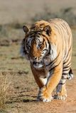 Tiger male in game reserve in south africa royalty free stock photo