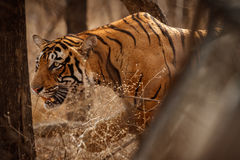Tiger male walking head on composition. Tiger in the nature habitat. Tiger male walking head on composition. Wildlife scene with danger animal. Hot summer in Stock Photos