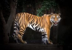 Tiger males standing in a natural atmosphere. Tiger males standing in a natural atmosphere of the zoo Stock Images
