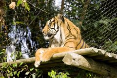 Tiger mammal predator big cat striped strong zoo circus. Graceful majestic predator of the tiger is a great huge striped cat listed in the red book symbol zoo stock photo