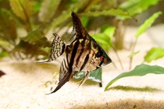 Tiger Marble angelfish pterophyllum scalare aquarium fish. 