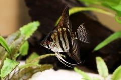Tiger Marble angelfish pterophyllum scalare aquarium fish Royalty Free Stock Photography