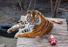 Tiger with meat. And bone in the zoo Stock Image