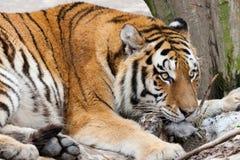 Tiger med den precis födda gröngölingen Royaltyfria Foton