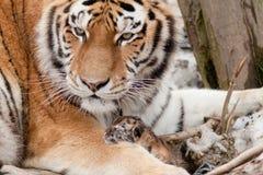 Tiger med den precis födda gröngölingen Arkivbilder
