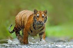 Tiger med färgstänkflodvatten Plats för tigerhandlingdjurliv, lös katt, naturlivsmiljö running tigervatten Faradjur, tajga arkivfoton