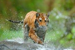 Tiger med färgstänkflodvatten Plats för tigerhandlingdjurliv, lös katt, naturlivsmiljö running tigervatten Faradjur, tajga arkivbild