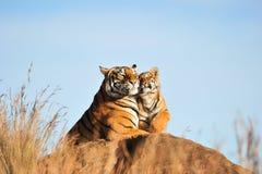 Tiger med hennes gröngöling Royaltyfri Fotografi