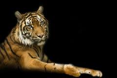 Tiger med svart backround Royaltyfria Bilder