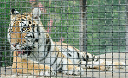 Tiger in metal cage, Stock Photo