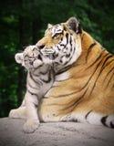 Tiger mit einem Jungen Lizenzfreie Stockfotos