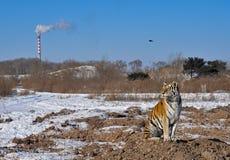 Tiger mit Verunreinigung Lizenzfreie Stockfotos