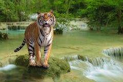Tiger mit Wasserfall Stockbild