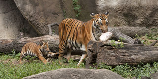 Tiger Mom  and Cub with Food Stock Photography