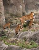 Tiger Mom med tre gröngölingar Royaltyfri Bild